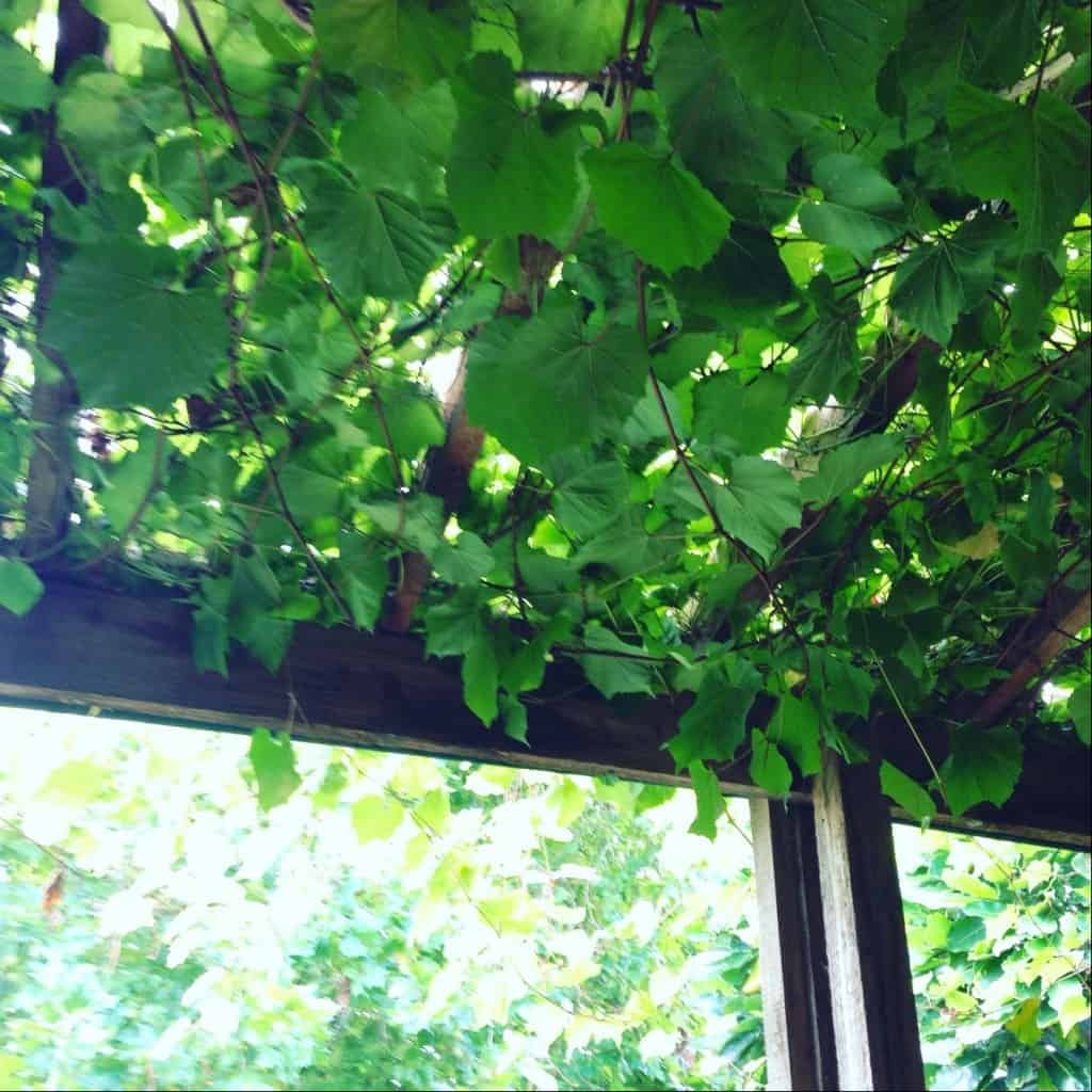 It's wonderful to sit under the vines at Marsden Estate winery restaurant.