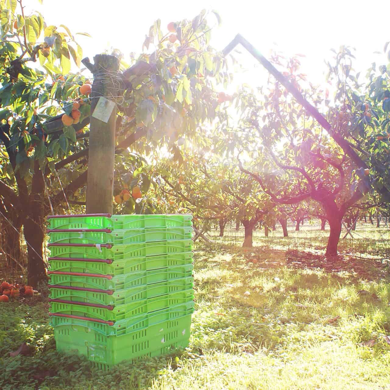 This large, commercial persimmon orchard (The Persimmon Patch on Kerikeri Road) sells directly to the public, via an honesty box system. You have to drive all the way through the beautiful orchard to get to the farm stall.